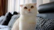 會說話的折耳喵:這隻小胖貓是得有多懶?這都大半年沒洗過澡呢!
