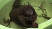 這傢伙吃泥鰍太快了,出去一天回來就剩下這幾條了