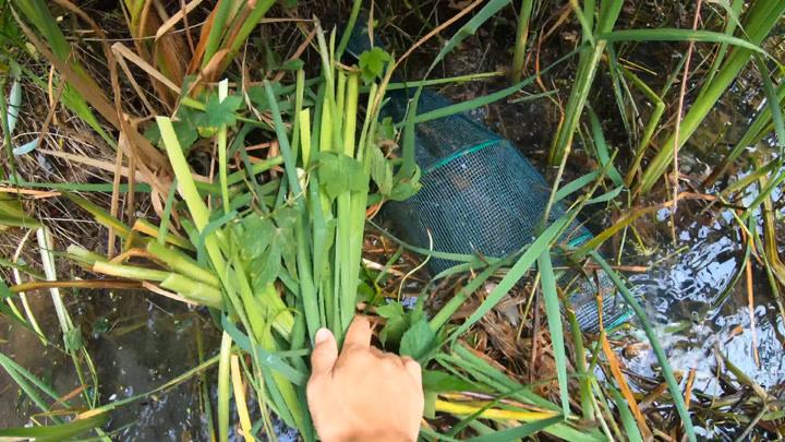 小毛荒廢魚塘收地籠,一拿開草就大叫起來,今天又是豐收的一天
